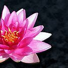 Water lily by Anthony Thomas