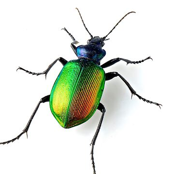 Calosoma sycophanta beetle  by JeanLender