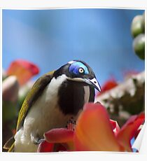 Blue Faced Honey Eater Close Up  Poster