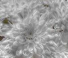 Chrysanthemum by Kim Slater