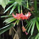 dangling beauty by sowabisabi