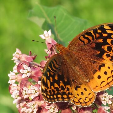 Great Spangled Fritillary sipping Milkweed Nectar by RonRussell