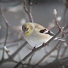 American Goldfinch in Winter by G. David Chafin