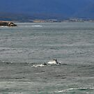 dolphins. bicheno, tasmania by tim buckley | bodhiimages