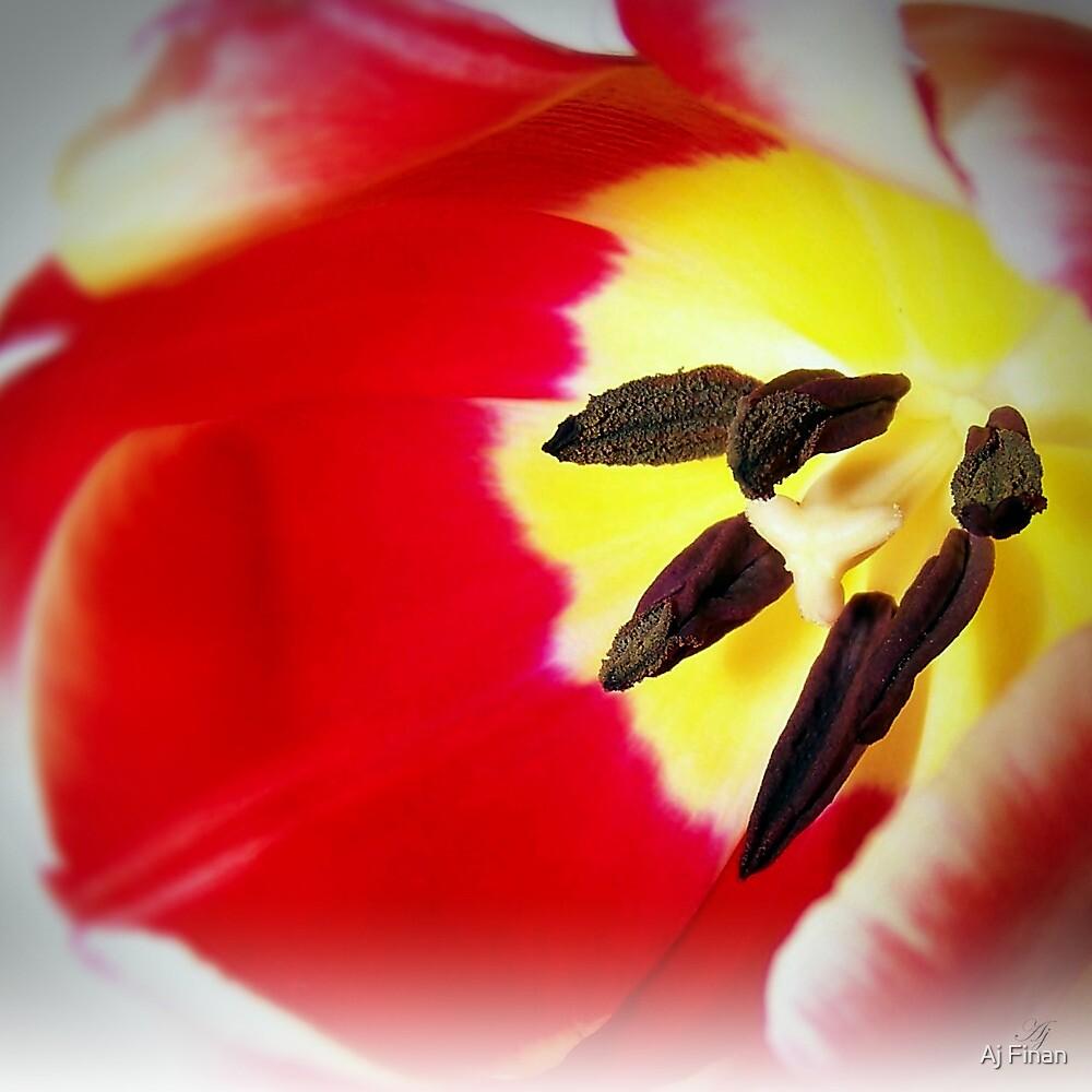Two Toned Tulip by Aj Finan