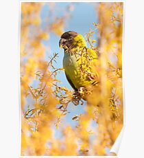 """Bird In Paradise"" - wild Nanday Conure in Largo, Florida Poster"