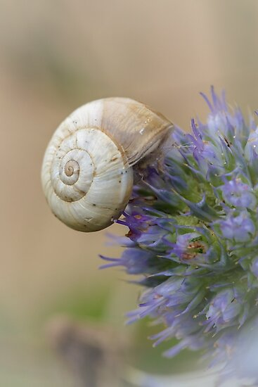 Snail on Sea Holly Flower by Heidi Stewart
