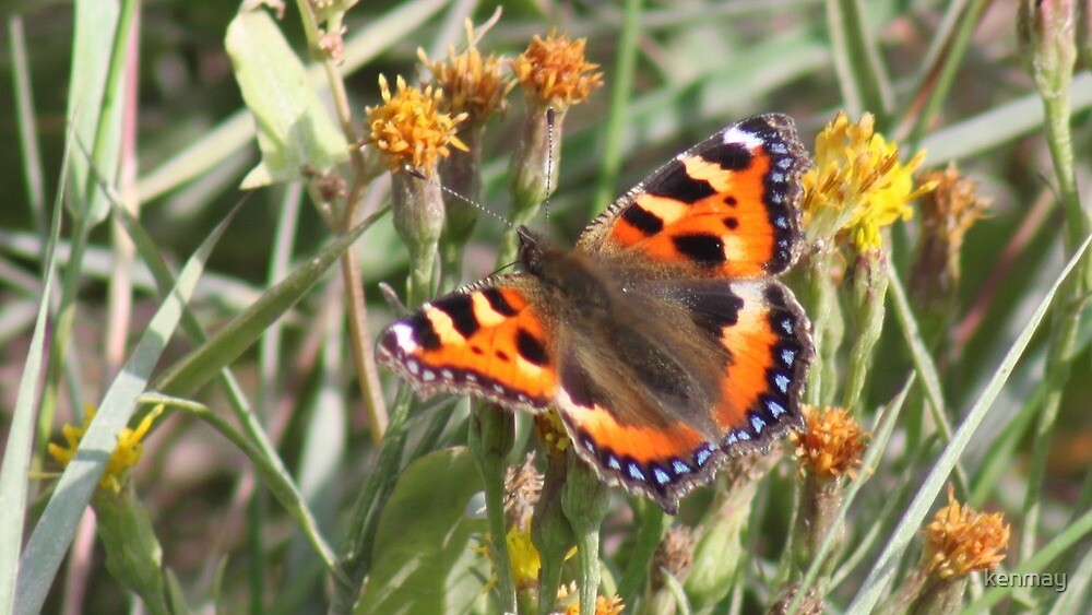 Butterfly(Small Tortoiseshell) by kenmay