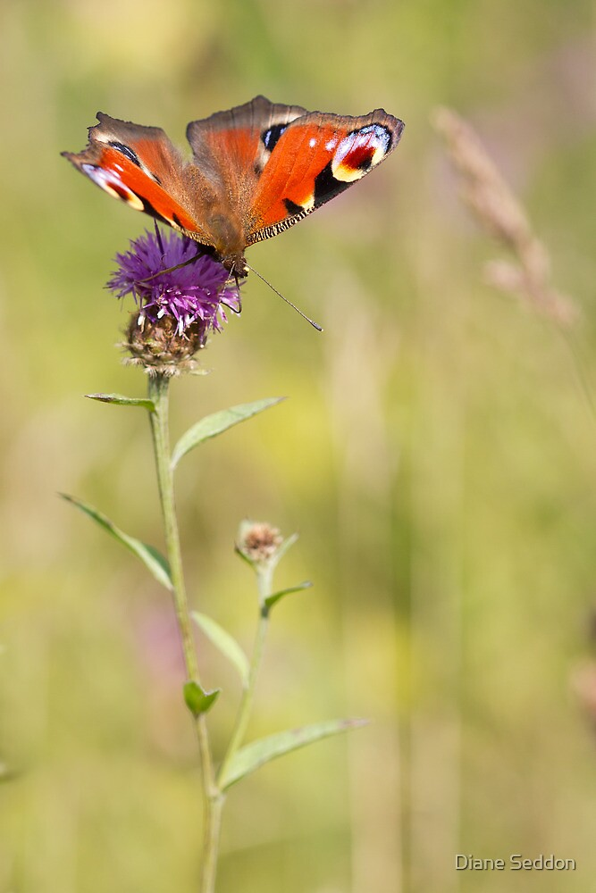 Painted Lady by Diane Seddon