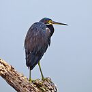 Lonely Tri Color Heron by Kathy Cline