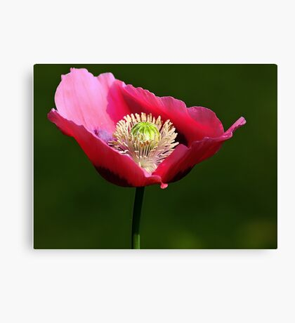 Cory's Poppy Canvas Print