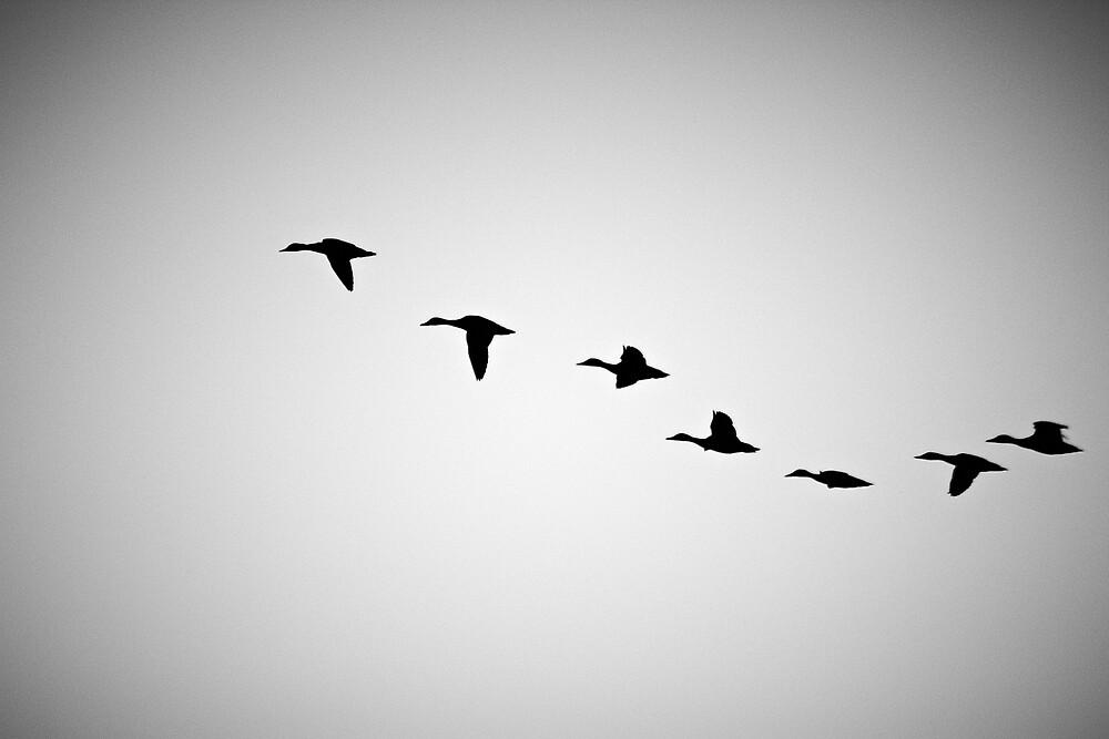 FLYING BIRDS SILHOUETTE  by CebotariN