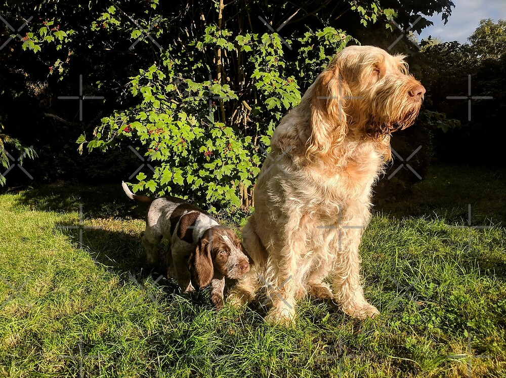 Spinone are family by heidiannemorris