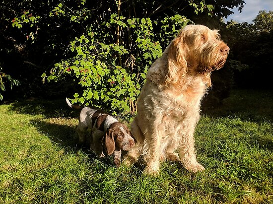 Spinone are family