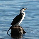 Little Pied Cormorant! by KiriLees