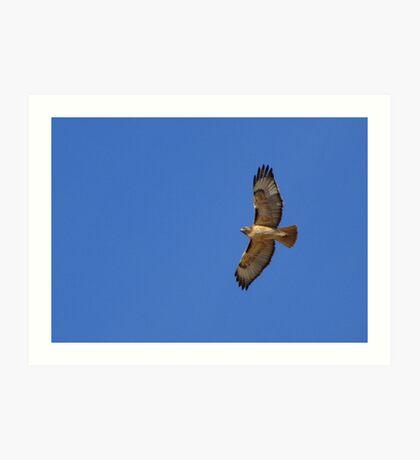Red-tailed Hawk ~ Kiteing Art Print