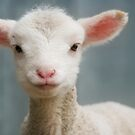 Cute and adorable young lamb by clearviewstock