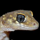 Thick Tailed Gecko  by clearviewstock