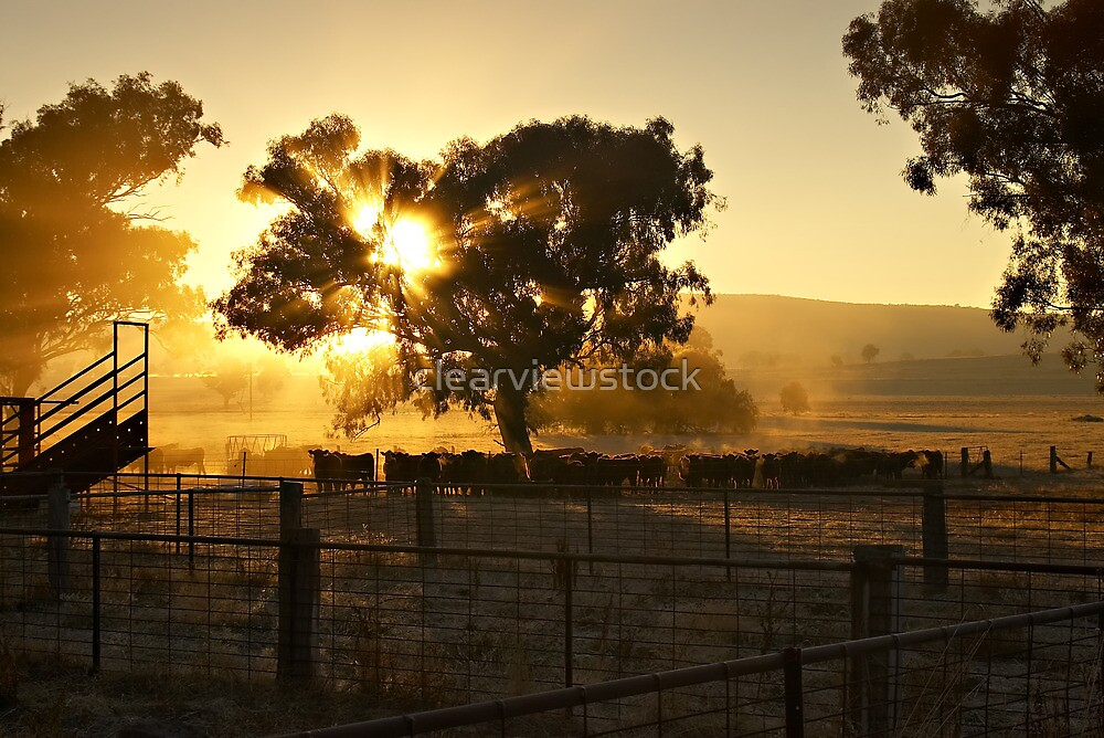 Cattle Sunrise 4 - Parkes, NSW by clearviewstock