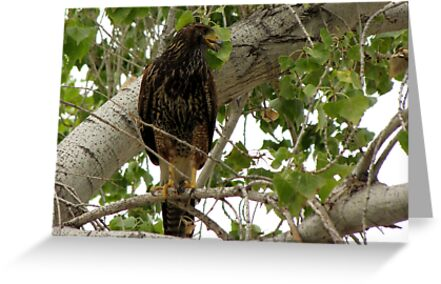 Harris's Hawk ~ Juvenille  by Kimberly Chadwick