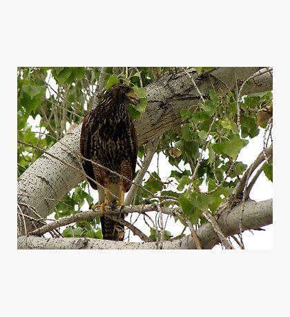 Harris's Hawk ~ Juvenille  Photographic Print