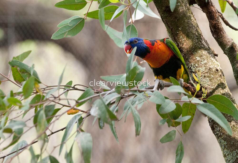 Cheeky Rainbow Lorikeet by clearviewstock