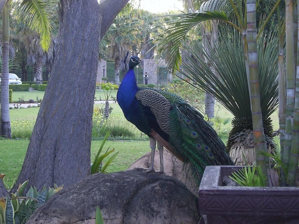 Semi-Wild Peacock 3, Gauteng, South Africa by sbrosszell