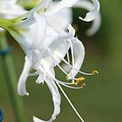 Peruvian Daffodil named Advance by JMcCombie
