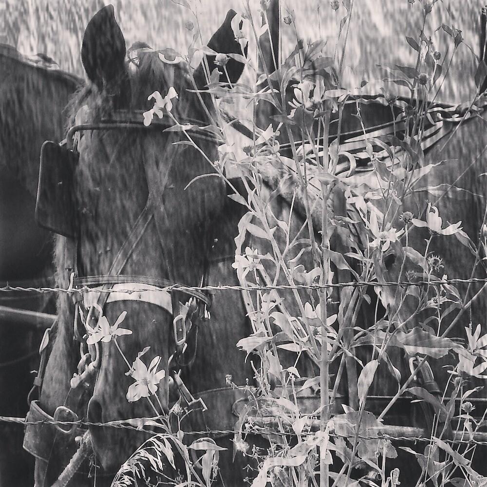 Amish Horse Black and White by angelandspot