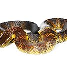 Mainland Tiger Snake (Notechis scutatus) by Shannon Wild