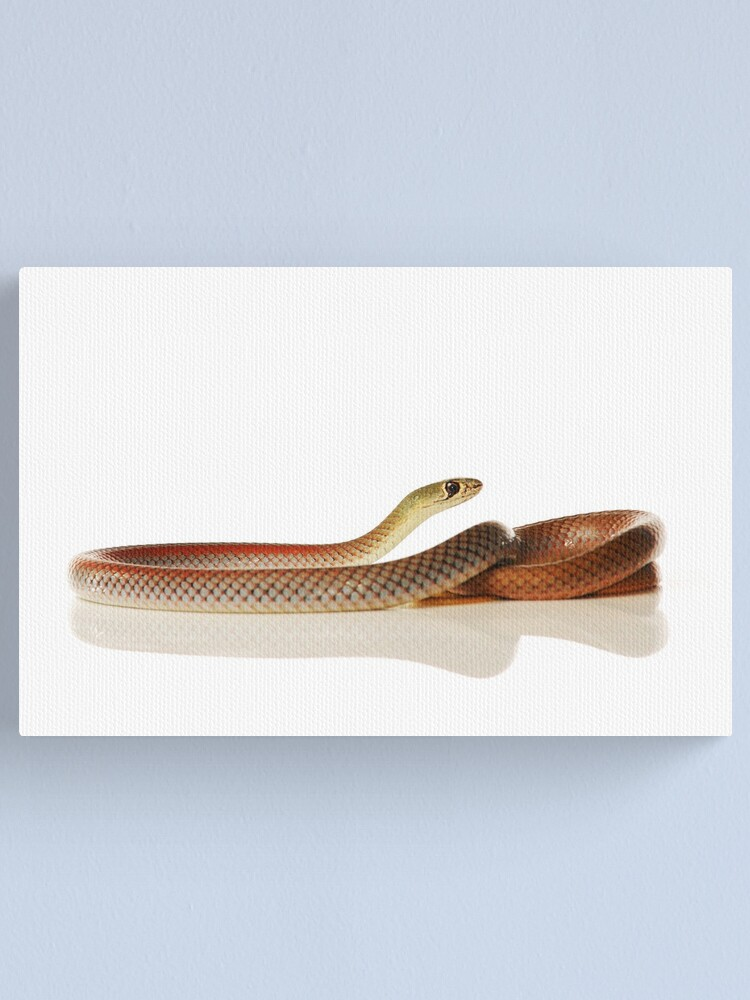 Alternate view of Yellow-faced Whip Snake (Demansia psammophis) Canvas Print