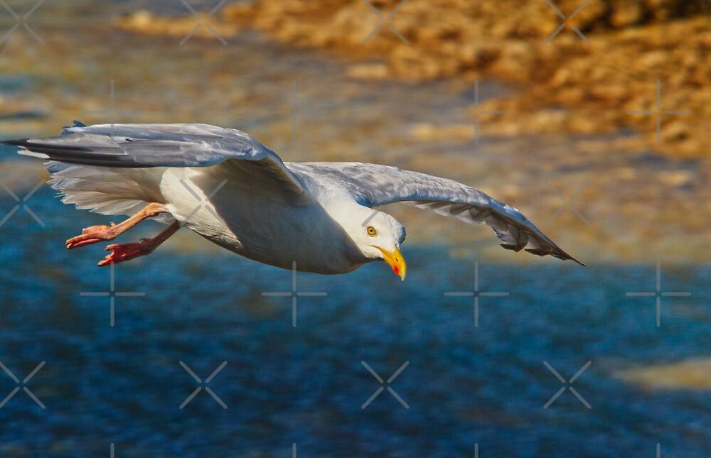 Herring Gull in flight by Geoff Carpenter