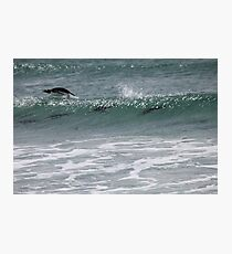 Gentoo penguins surfing Photographic Print
