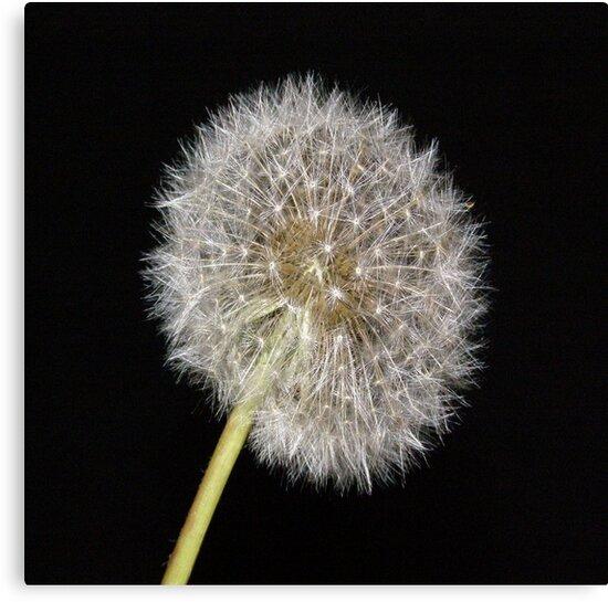 Dandelion by Arizonagirl