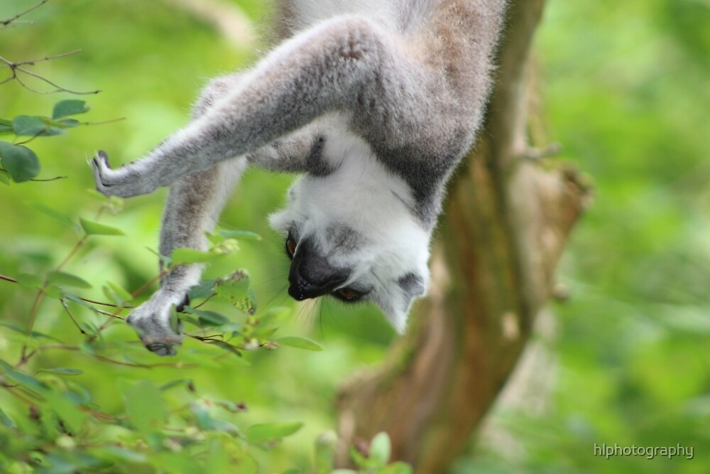 Hanging Lemur by hlphotography