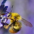 Bumble Bee on Lavender by Lee Potter
