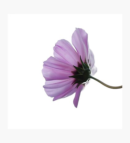 Cosmea on white Photographic Print