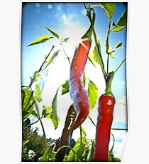red hot chili pepper Poster