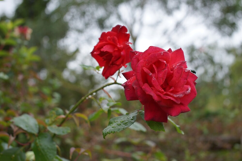 Rose and raindrops by DiplodocusOne