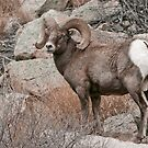 Big Horn Sheep by BarbaraWilliams