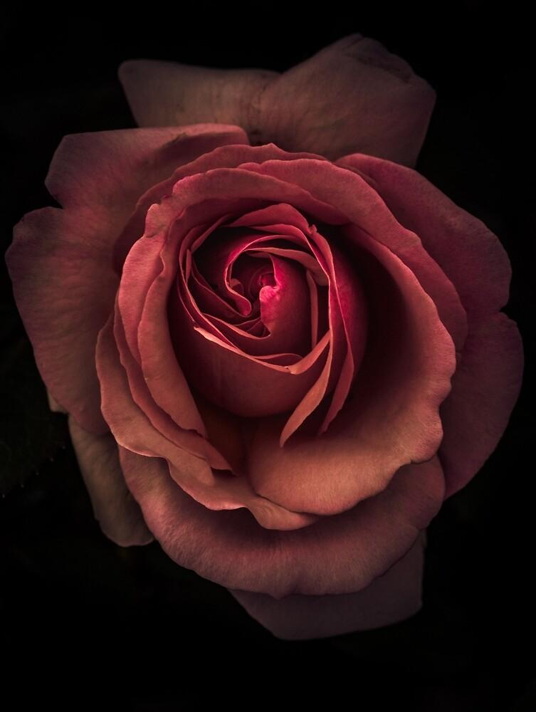 Red rose by alan shapiro
