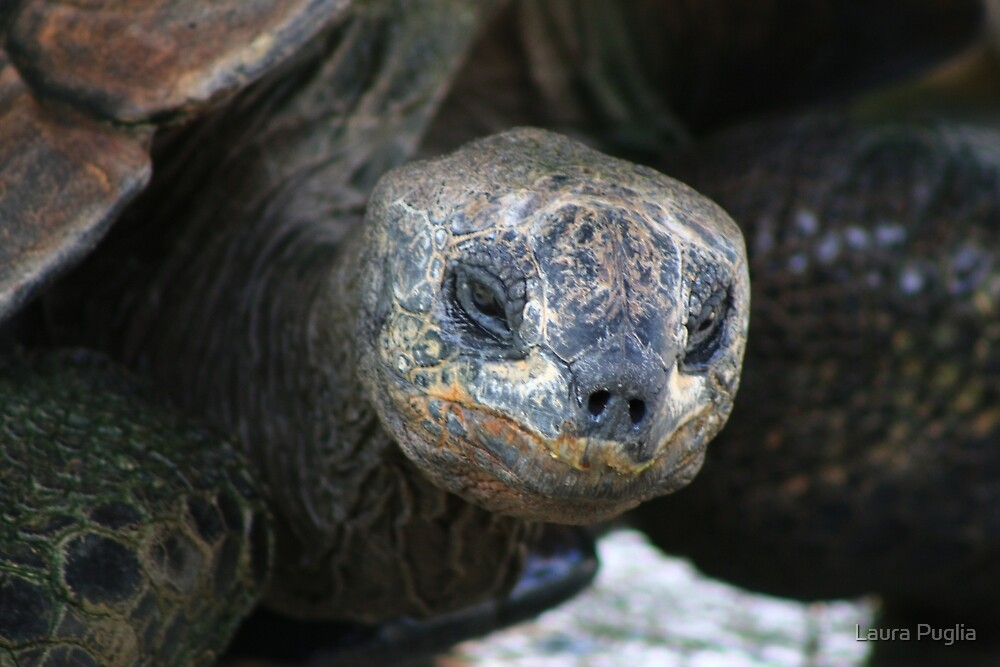 Tortoise  by Laura Puglia