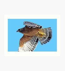 Red-shouldered Hawk Cruising Along  Art Print