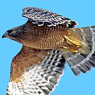 Red-shouldered Hawk Cruising Along  by Chuck Gardner