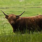 Scottish Longhorn by ArianaMurphy