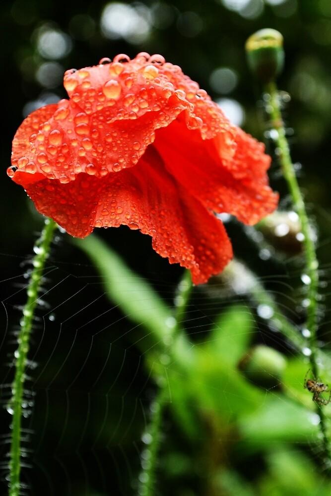 dew-dropped red poppy by Jessica Reilly