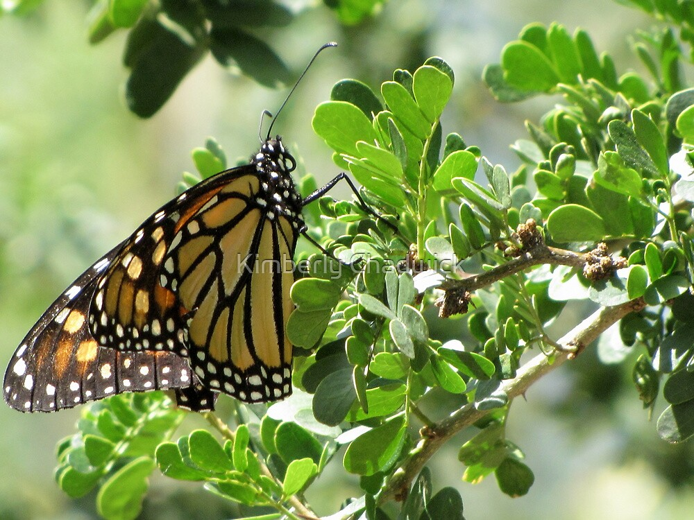 Butterfly ~ Monarch by Kimberly Chadwick