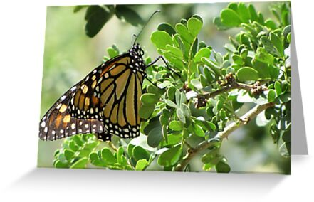 Butterfly ~ Monarch by Kimberly Chadwick