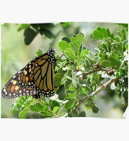 Butterfly ~ Monarch Poster