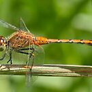 Red Dragonfly by Selina Tour